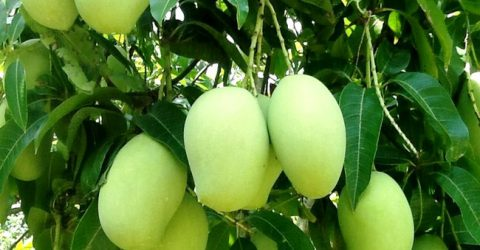 Mango plays vital role in Rajshahi region