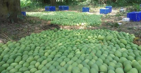 Rajshahi mangoes make inroad into Europe's chain shops