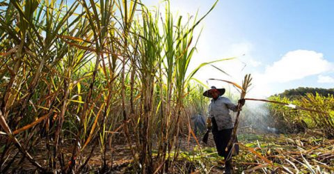 Cuba to study whether climate change is hurting sugar harvests