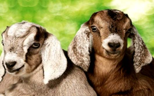 Kid you not: Goats can read your face