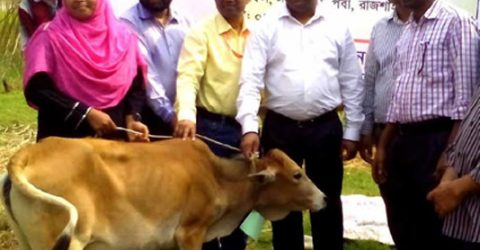 320 poor families get calves in Rajshahi
