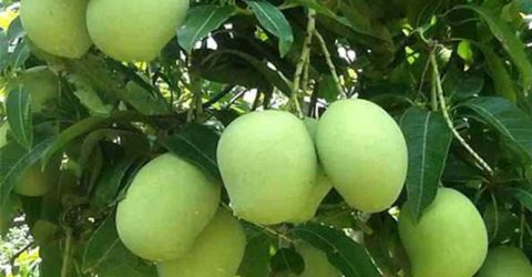 Mango harvesting begins in Rajshahi on May 15
