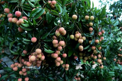 Encephalitis from lychees kills 31 children in India: official