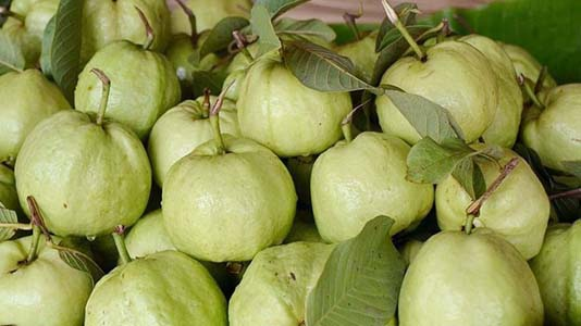 Commercial guava farming gains popularity in Rajshahi