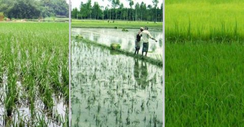 T-Aman seedling transplantation nearing completion in Rangpur region