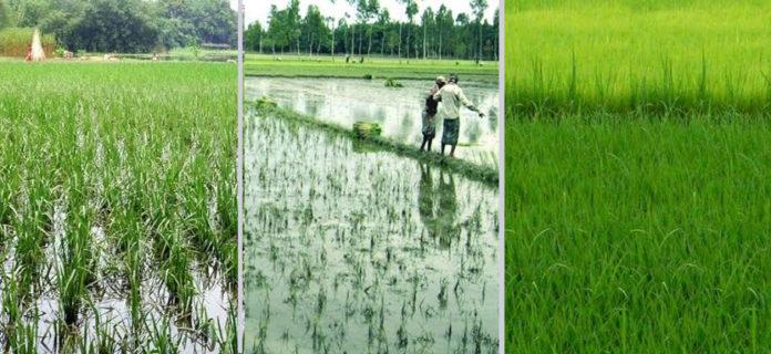 T-Aman seedling transplantation nearing completion in Rangpur region