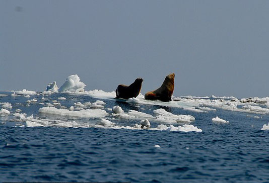 Shrinking Arctic ice linked to spread of deadly animal virus