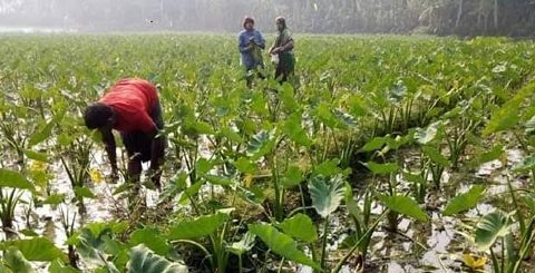 Khulna farmers become self reliant by farming arum-lobe