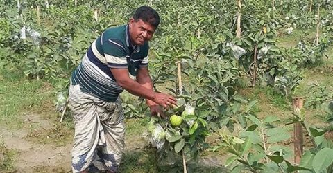 Guava farming delights many farmers in Rajshahi
