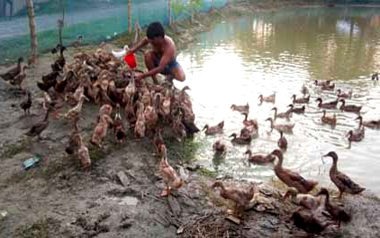 Duck farming becomes boon for many in Rajshahi