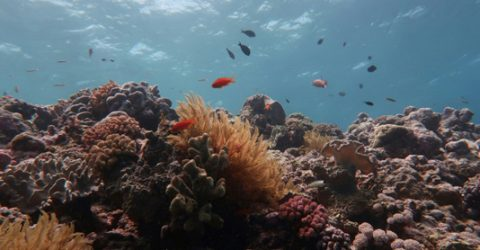 Great Barrier Reef's corals in steep decline