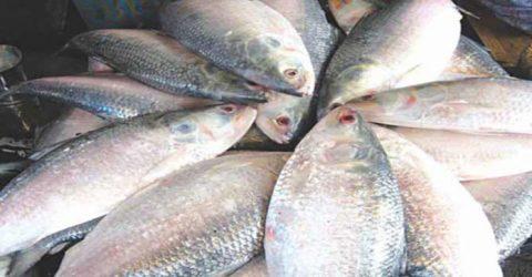 2 fishermen jailed for catching Hilsa in Jamalpur