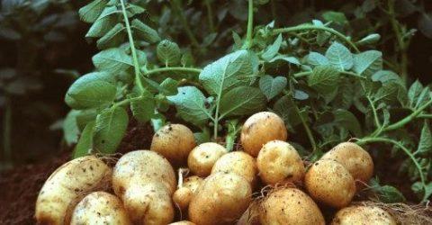 TCB to start potato sale at Tk 25: Tipu