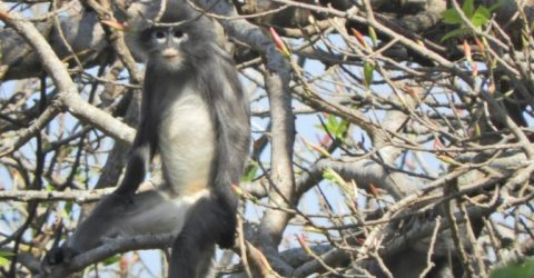 Newly discovered primate in Myanmar 'already facing extinction'