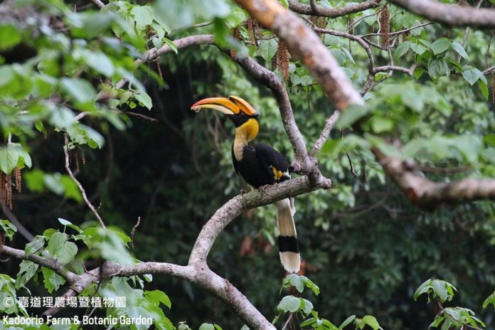 Rare pied hornbills spotted in China's Yunnan