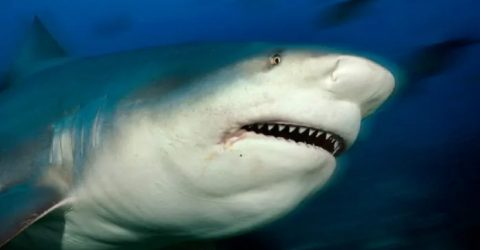 Swimmer dies in New Caledonia shark attack