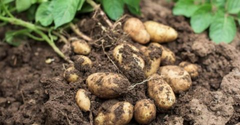 Smallholder farmers export potatoes despite COVID-19 challenges