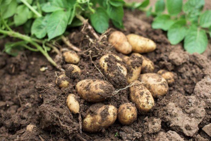 Smallholder farmers export potatoes despite COVID-19 challenges