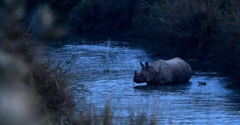 Rhino population in Nepal grows in conservation boost