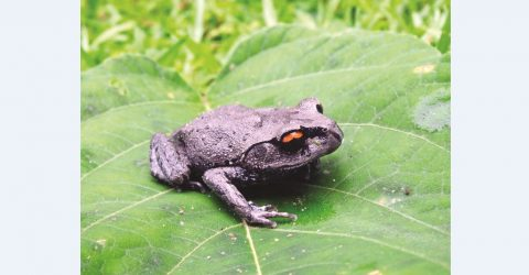 Two JnU students discovers a new species of frog