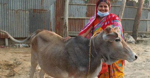 20 people get cattle in Gaibandha