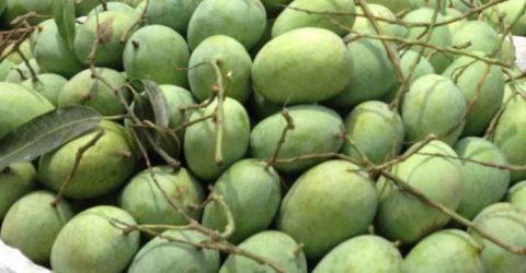 Rajshahi's Bagha starts process of exporting mangoes to UK