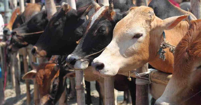 Sacrificial animals sale begins in city's cattle markets today