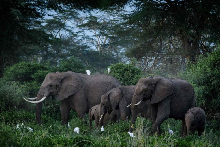 To track elephants, scientists keep an ear to the ground