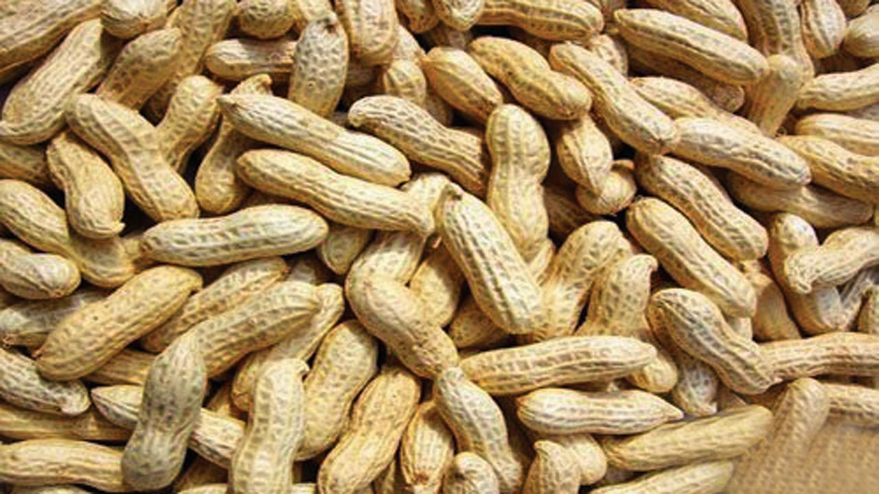 Groundnut farmers happy over bumper yield, fair prize in Panchagarh