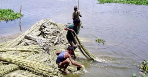 Farmers in Jamalpur happy getting high yield of jute