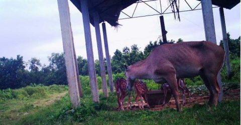Nilgai gives birth to offspring at Bangabandhu Safari Park